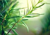 Fresh Rosemary Herb grow outdoor. Rosemary leaves Close-up. Fresh Organic flavoring plants growing.  poster