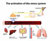 Activation Of The Stress System poster