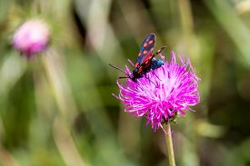 foto of six-petaled  - close up of a moth six-spot burnet (Zygaena filipendulae) on a purple flower