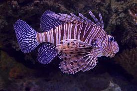 foto of scorpion  - Scorpion Fish in Lisbon Aquarium, close up ** Note: Visible grain at 100%, best at smaller sizes - JPG