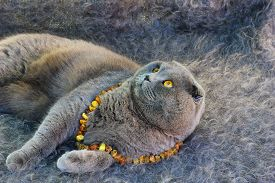 stock photo of scottish-fold  - Scottish fold grey cat with amber eyes in the amber beads lies on a grey fleecy blanket and looking up - JPG
