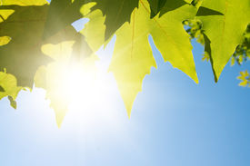 stock photo of maple tree  - Green maple leafe in sunny day on blue sky fone - JPG