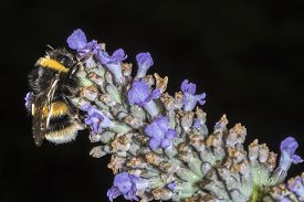 stock photo of terrestrial animal  - Macro of a Bumble Bee  - JPG