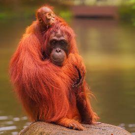stock photo of orangutan  - Young orangutan is sleeping on its mother - JPG