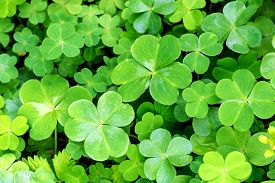stock photo of irish moss  - Close - JPG