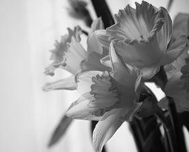 image of daffodils  - Bouquet of beautiful daffodils close up - JPG