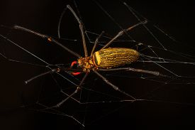 picture of black widow spider  - Scary black and yellow spider with long legs from Borneo jungle at night - JPG
