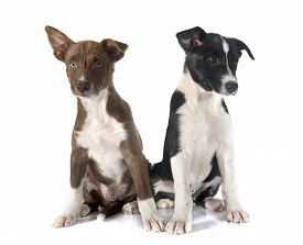 picture of collier  - puppies border collier in front of white background - JPG