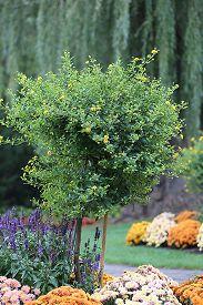image of lantana  - Verbena Tree in flowerbed of chrysanthemum  - JPG