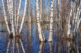 pic of birchwood  - The birchwood is waterlogged by flood waters - JPG