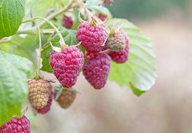 picture of groping  - a lot of red raspberries on a bush - JPG