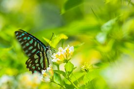 picture of lantana  - Spotted Jay butterfly Graphium arycles on Lantana flower - JPG
