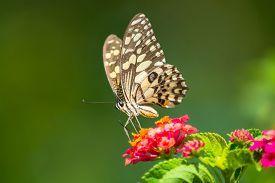 stock photo of lantana  - Lime butterfly Papilio demoleus on Lantana flower - JPG