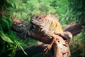 pic of lizards  - Lizard (Sailfin lizard) close-up portrait on natural background