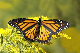 picture of goldenrod  - A Monarch Butterfly  - JPG