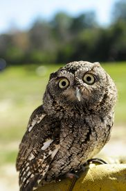 picture of screech-owl  - Portrait of a Screech Owl perched on his trainers hand - JPG