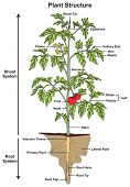 Plant Structure infographic diagram including all parts of shoot and root systems showing buds flowe poster