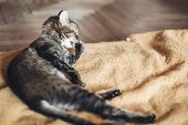 Beautiful Cat Licking His Paw On Stylish Yellow Blanket With Funny Emotions In Rustic Room. Cute Tab poster