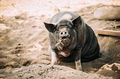 Large Black Pig Sitting In Sand In Farm Yard. Pig Farming Is Raising And Breeding Of Domestic Pigs.  poster