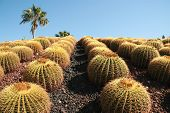 image of xeriscape  - neat rows of barrel type cactus against a bright blue sky on the Baja peninsula - JPG