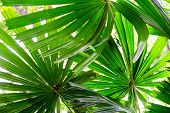 Green Leaves And Nature Background Concept - Close Up Under Green Lady Palm Leaves In Garden Nature  poster