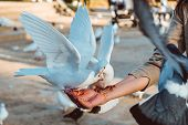 Pigeon Eating Feed Standing On Human Hand. A Woman Feeds Pigeons poster