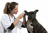 Vet examining a Crossbreed dog, dog with an otoscope in front of white background