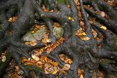 foto of centenarian  - Thick roots of an old beech tree holding the earth - JPG