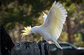 Beautiful Sulphur-crested Cockatoo Showing Off Its Yellow Crest And Wings In A Park poster