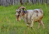 Goat In A Kitchen Garden. Portrait, Closeup. The Goat Is One Of The First Domesticated Animals. Dome poster