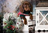 Puppy Christmas dog dachshund in retro decjrations  poster