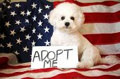 Dog Adoption. A white bichon frise dog with a Adopt Me sign against an American flag. Sign is edita poster