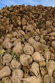 stock photo of biogas  - A big pile of harvested sugar beets - JPG
