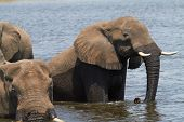 stock photo of veld  - A herd of African elephants  - JPG