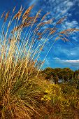 stock photo of pampas grass  - Tall pampas grass in autumn against a beautiful blue sky - JPG