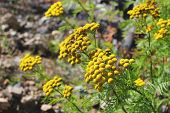 stock photo of tansy  - bright yellow flowers of tansy on a blurred background - JPG