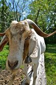 image of billy goat  - A billy goat stands on a log and stares down the world - JPG