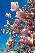 stock photo of japanese magnolia  - blooming magnolia tree in april isolated on blue sky background - JPG