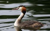 stock photo of great crested grebe  - Great Crested Grebe in Hogganfield Loch - JPG