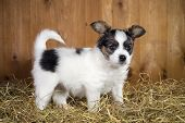 picture of epagneul  - Papillon puppy standing on a straw on a background of wooden boards - JPG