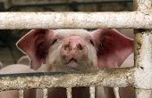 stock photo of barn house  - The pig looking through the fence at a pig farm - JPG