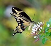 stock photo of plant species  - Giant Swallowtail butterfly  - JPG