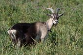 foto of pygmy goat  - Gray goat standing in the green grass in the pasture - JPG