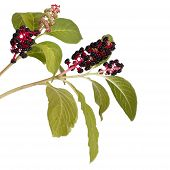 stock photo of inkberry  - Two branches with pokeweed berries isolated on white background - JPG