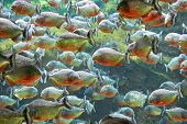 image of piranha  - A flock of the ferocious red piranha fish - JPG
