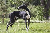 stock photo of greyhounds  - Hort greyhound on the grass in the Park - JPG