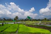 picture of west village  - Farmer tending to the paddy fields in West Sumatera - JPG