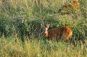 stock photo of roebuck  - young wild roebuck  - JPG