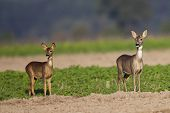 pic of deer family  - Roe - JPG
