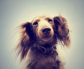 stock photo of long hair dachshund  - miniature long haired dachshund with blue sky done with a retro - JPG